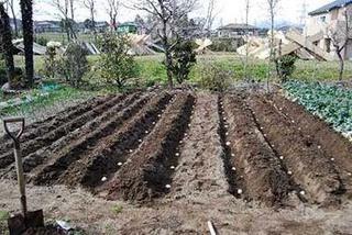 ジャガイモの土作り 大収穫でおいしい!