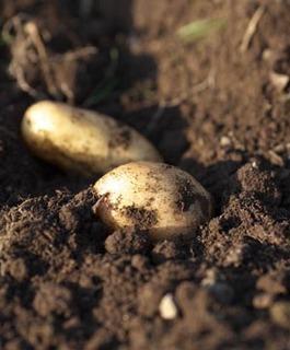 ジャガイモの育て方 栽培方法 家庭菜園で大収穫 詳細版