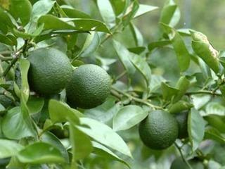 カボスの育て方、初心者でも栽培できる美味な柑橘類