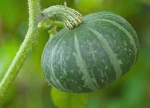 カボチャ 肥料の与え方