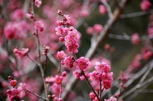 梅 鉢植えの育て方