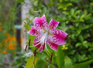ユリの育て方 7月−1.庭植え 開花中の栽培とお礼肥