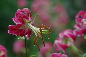 ・ユリ球根 大きさと花数は関係ありますか?