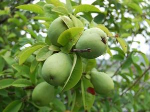 カリン、マルメロの育て方|鉢植え