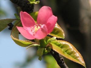カリン、マルメロの育て方|庭植え
