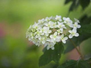 アジサイの育て方 6月−2.開花の梅雨時こそ水やり注意して