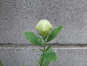 桔梗 例年より早く咲きました