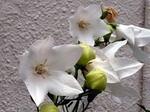 桔梗の開花