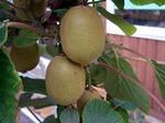 キウイフルーツの育て方と調理法