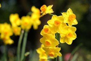 スイセン(水仙)の育て方|翌年も花を咲かせる栽培方法