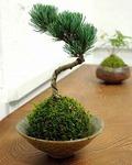苔盆栽の育て方と栽培方法