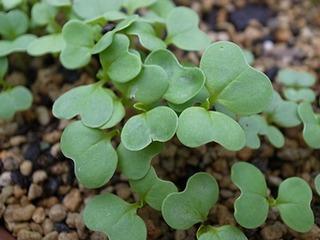 コマツナの栽培|初めてなら秋まきでおいしく簡単に育てよう!