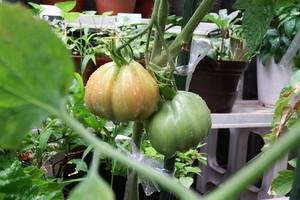 トマト 茎が2本ある