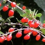 クコの効能と栽培