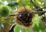 クリ 栗の育て方 栽培方法