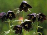 黒百合の育て方、栽培方法