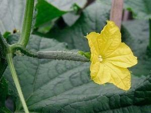 キュウリの育て方|ずらして植え付けて秋まで収穫!