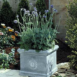 lavender-lase-spanisheyes.jpg