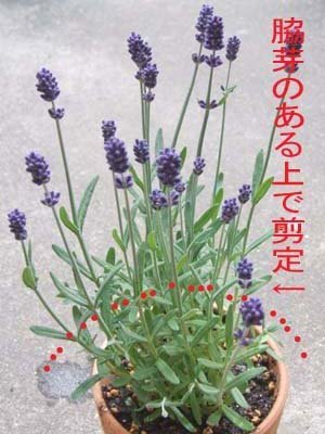 lavender-sente10.jpg