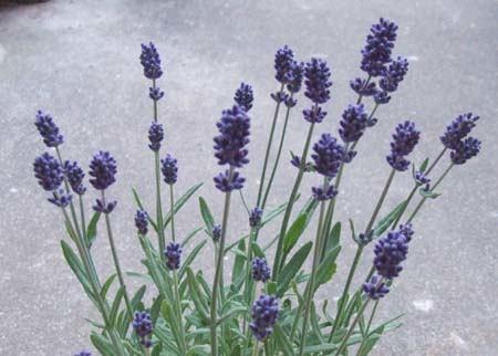 lavender (10).JPG