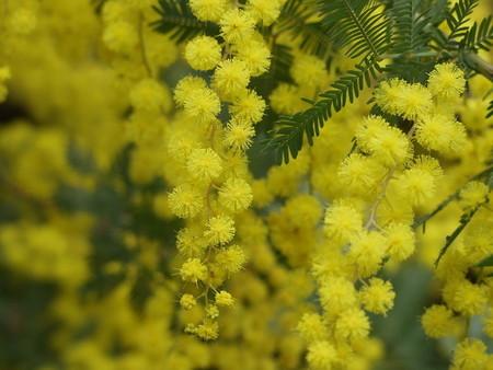 mimosa (3).jpg