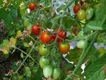 ミニトマトの育て方と食べ方