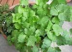 三つ葉の分かりやすい育て方と栽培方法
