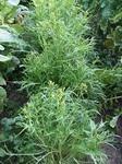 ミズナ(水菜)の育て方 栽培方法