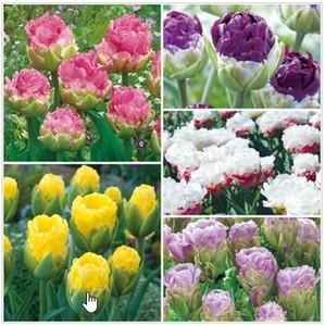 mokomoko Tulip (1).jpg