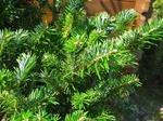 モミの木の育て方 栽培方法