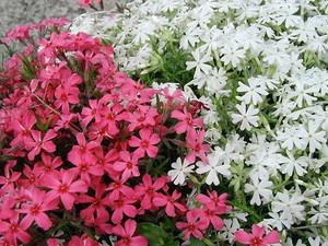 グランドカバー 白い花