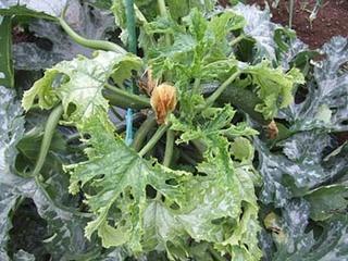 野菜のモザイク病(ウィルス病)の防除方法