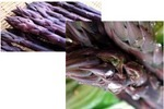 紫アスパラガスの育て方