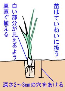 タマネギの植え付け方法