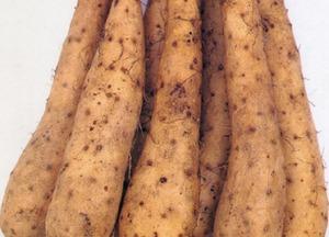 ヤマイモのプランター栽培|深い容器で大収穫!グリーンカーテンも