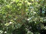 ナシ(梨)の種類