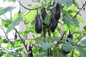 ナスのプランター栽培|剪定して秋ナスも収穫!