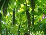 ナタマメの育て方と栽培