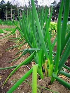長ネギの栽培|甘く美味に育てよう!