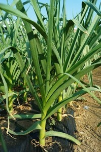 ニンニク 収穫時期と方法
