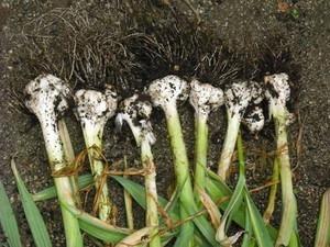 ニンニクのプランター栽培