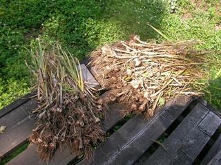 収穫したニンニクの保存方法
