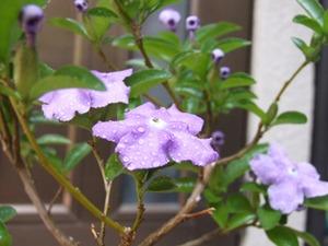 ニオイバンマツリ(アメリカジャスミン)開花です