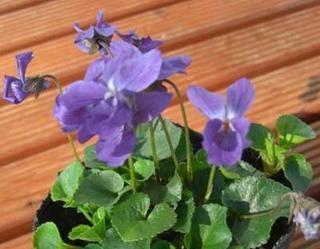 ニオイスミレ(匂菫)の育て方 栽培方法