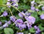 ニオイスミレ(匂菫)の育て方と利用方法