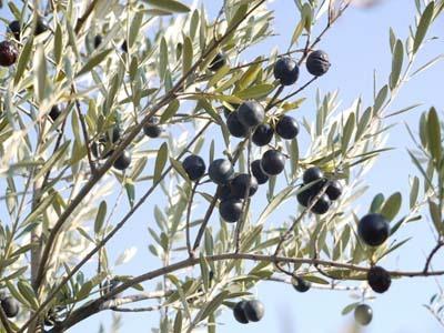 olive20(27).jpg