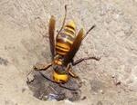 スズメバチ対策 黒の服や香水は避ける