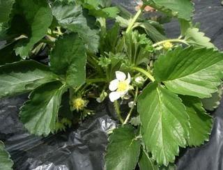 イチゴの栽培 育て方 2月 マルチングと発芽の手入れ