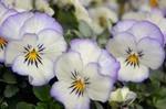 花がら摘みの方法
