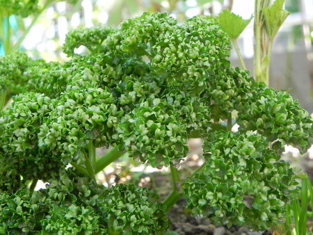 parsley (1).jpg